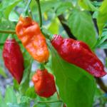 Chilli Pepper Bhut Jolokia