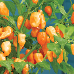 Chilli Pepper Habanero