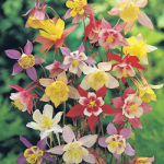 Aquilegia Long Spurred
