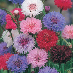 Cornflower Tall Double Mix