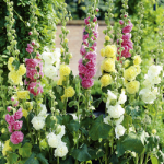 Hollyhock Chaters Mix